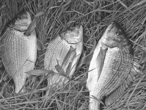 These three healthy bream from the Aire River fell to baits of prawn.