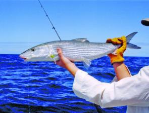 Did I hear you say bonefish? You just never know what you will hook next here. (George Horvath photo).