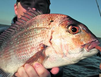 Pinkies are prolific and a good target for lure anglers.