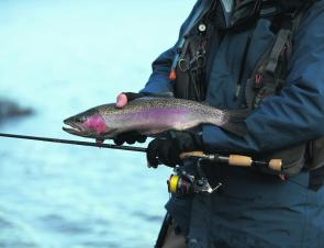 Healthy rainbow trout are everywhere. This one was taken while slow-hopped Squidgy paddletail in rainbow trout pattern.