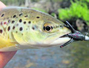 A small Kiewa River brown trout taken on a Strike Tiger nymph. Natural presentations such as these are ideal in areas of high fishing pressure where the trout may become quite educated and selective.