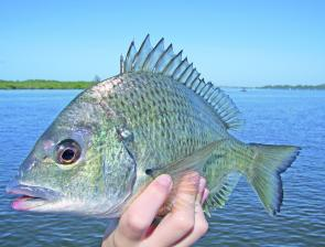 Plenty of blue-nosed bream will be on the move this month and will be eager to snaffle baits and lures.