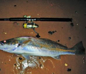 The beaches have been producing plenty of decent jewfish. This one came from Sawtell Beach and went just over 7kg.