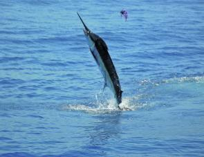 We have caught five blue marlin this season from my tinnie – the goal is ten by Easter.
