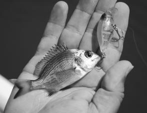 Even little bream like hardbody lures; this one's eyes were too big for its belly!