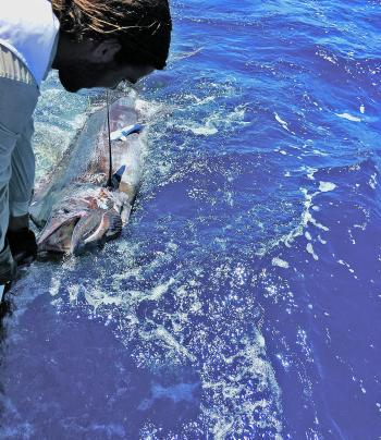 Sam French checks out the dimensions of his blue marlin, caught aboard Foreign Exchange.