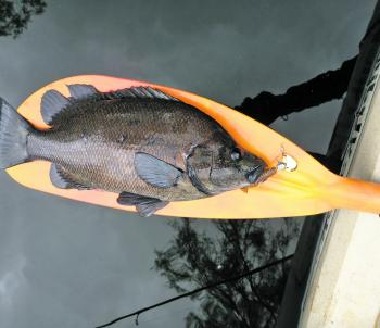 A quality sooty on a quality paddle!
