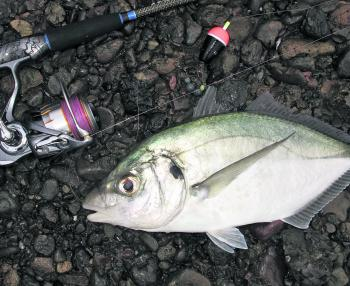 Silver trevally can show up in good numbers anywhere south of Port Stephens during autumn and into winter. Small baits of white bread, peeled prawns, pillies and squid work well on these hard fighting fish.