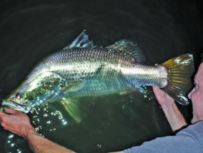 A chunky barramundi from Peter Faust Dam, caught out of a Hobie Pro Angler kayak.
