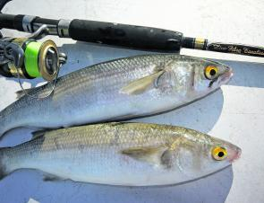 Mullet are quite a challenge to bring to the boat so ensure your using reliable tackle for the job.