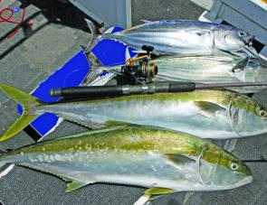 The baitfish bring mixed bags of pelagics, including striped tuna, bonito and kings. They all go great on light tackle.