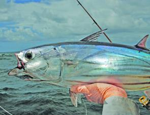 Striped tuna are great bait for everything.