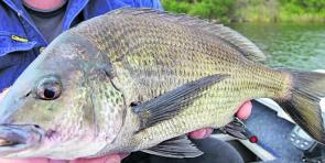 A nice Glenelg River bream. This month should really produce decent catches.