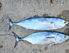 Small tuna are abundant in close and it's possible to spin them up while slow trolling live baits. By way of comparison, the top fish is a frigate mackerel, while the bottom one is a mackerel tuna.