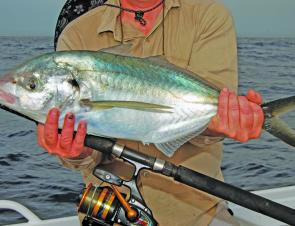 There have been some thumping trevally grabbing jigs meant for kings over the reefs.