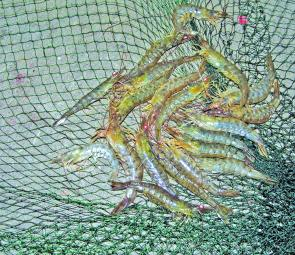 Prawns should be around in big numbers just before Christmas and the week following. A scoop net or a haul net will work but the author prefers a haul net.