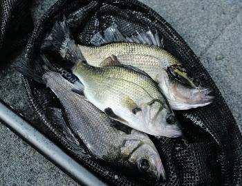 Once the perch are found, they can be caught in large numbers.