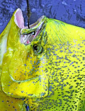 This mahi mahi of Matt Wallace was caught on heavy tackle off the shelf of Fraser Island to give us a field goal for Champion Boat and Angler Heavy Tackle at the Hervey Bay Tournament.