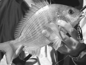 A very healthy bream taken from Pittwater on one of the diving minnows the author prefers.