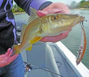 Whiting like this are great fun on light gear and they aren't shy about eating big lures.