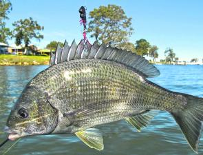I'll catch bream any way I can! Over the next month expect to find them high up in the rivers spawning, or out in the shallow lake margins.