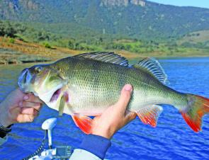 There has been some good-sized redfin about at Blowering Dam this year. This 465mm model is a pending Australian record (length only) for the author and is typical of the types of big redfin that this lake is famous for.