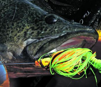 A Severn River cod taken on a Westin Monstervibe spinnerbait.