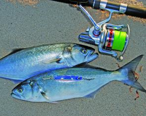 Beach fishing should improve as we move towards Summer. Salmon may be the main fish encountered, but tailor have been around in reasonable numbers lately.