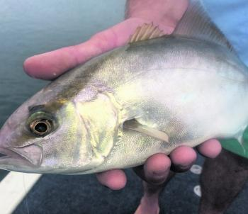 An unusual visitor to our region, this little amberjack was caught in Pambula Lake while targeting flathead.