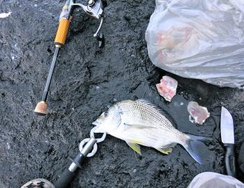 A decent bream caught from rocks with chicken thigh bait.