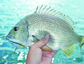 When fishing the flats, don't be surprised if stud bream decide to snaffle your surface lure.