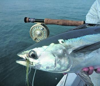 Tuna take flies readily. The trick is to get close enough for a shot at them.
