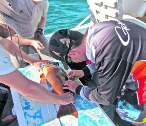 The guys from Keppel Bay Sportfishing Club tagging another trout ready for release.