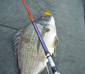 Some great looking bream have been chasing lures in Patterson Lakes.