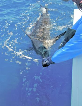 The author releasing a blue marlin, sitting around the 100kg it is on the smaller side.