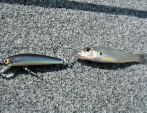 You know you have a healthy system when whiting this size happily chase down and attack a 55mm Bassday Sugar Minnow.