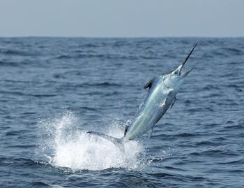Inshore black marlin will provide plenty of fun this month.