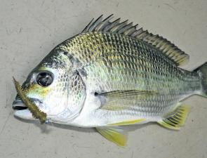 This bream took a small Berkley Gulp in a coastal river. Soft plastics are about the most versatile thing to use during late winter and early spring.