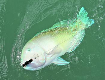 This beautifully vibrant tuskfish was caught on a hardbody lure.