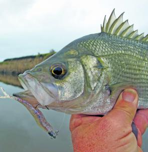 Chunky little estuary perch in the Mitchell River find small plastics hard to resist.