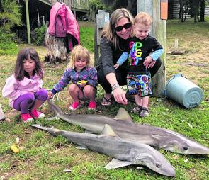 Gummies and school sharks are in good numbers at Port Welshpool.