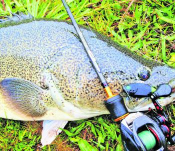 Low profile bait cast set ups are ideal for casting lures for Murray cod. This cod fell for an Insanity Tackle Slap Walker rigged on the rear tow point.