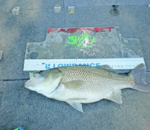 The author's personal best bass of 3.05kg was caught in a local river on a Jackall TN50. It was estimated by Fisheries officers to be around 20 years old. It was released along with another of 53cm the same afternoon.