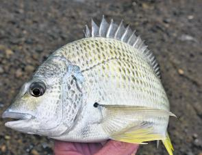 Bream are very common around the rocks and respond to a variety of baits. A size 4-1/0 hook and a tiny pea sized sinker running freely on the line is often the best type of rig to use for them.
