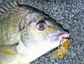 Bream are moving more on the surface, chasing prawns and lures.