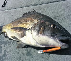 Big fat bream – this is what 43cm Derwent bream looks like up close and personal.