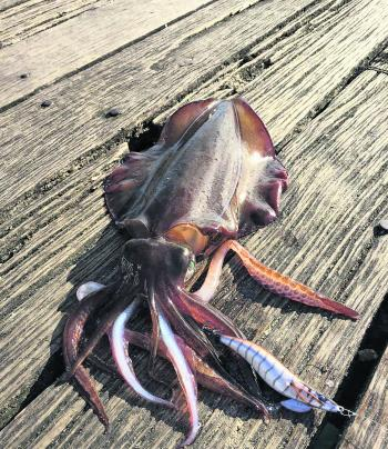 Through September we should see the some good numbers of big breeding squid caught on the Mornington Peninsula.