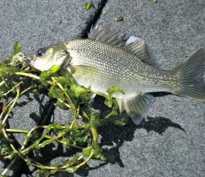 The author used a Bassman Mumbler to tempt this bass out of the sparse St Clair weed.