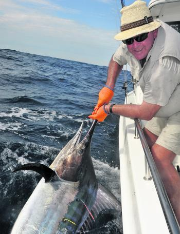 Black marlin were more numerous, and a little fatter than summers past.