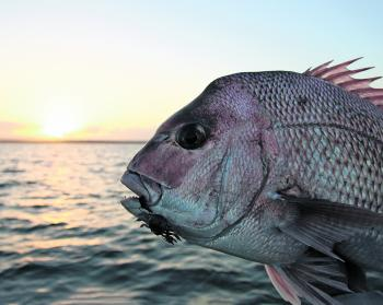 Early mornings are a prime time to chase big Moreton Bay Snapper.
